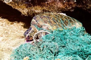 Turtle_entangled_in_marine_debris