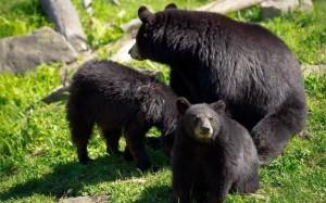 bears_149079983-640400