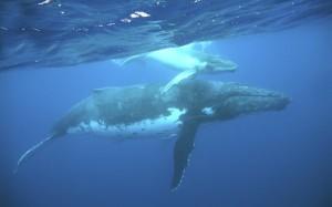 humpbacks_35672527_640400