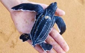 Sea Turtle Campaign