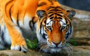 Tiger Campaign
